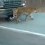 فيديو: نمر ضخم يقطع الطريق في روسيا