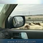 فيديو: الأغنام و الماشية على طريق الملك فهد السريع